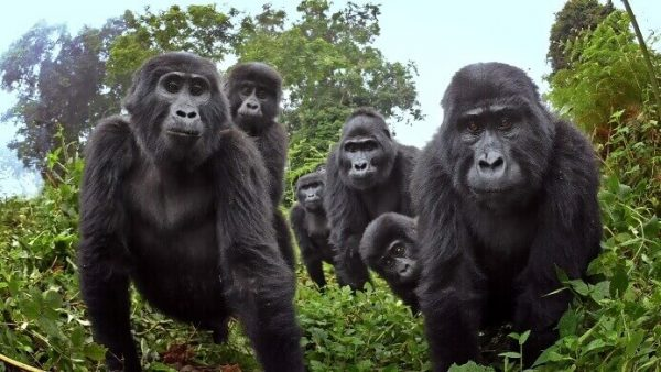 World Wide Fund for Nature Condemns Killing of Silverback Gorilla Rafiki